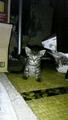 [ぬこ][猫][生き物][平和]又広げて。