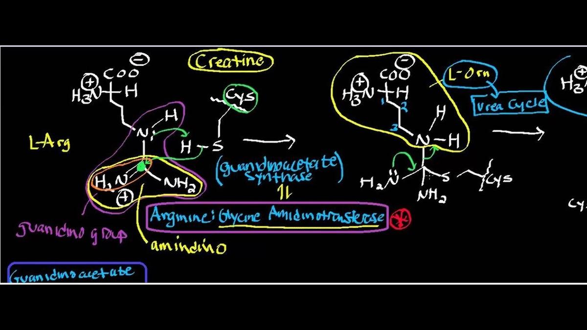 生理学的にクレアチン、それともクレアチンリン酸を摂取するほうが有効なのか?(血液中から細胞内に吸収されるのはクレアチンである)