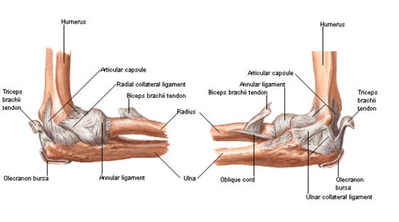 野球肘の機能解剖学(結合組織と筋群が肘関節の静的および動的安定化機構として作用する20~120°の肘屈曲角度において生じる)
