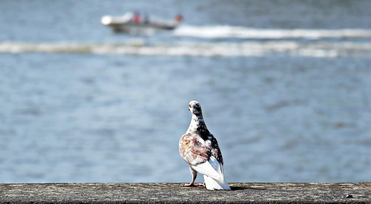 海を眺める一羽の鳩