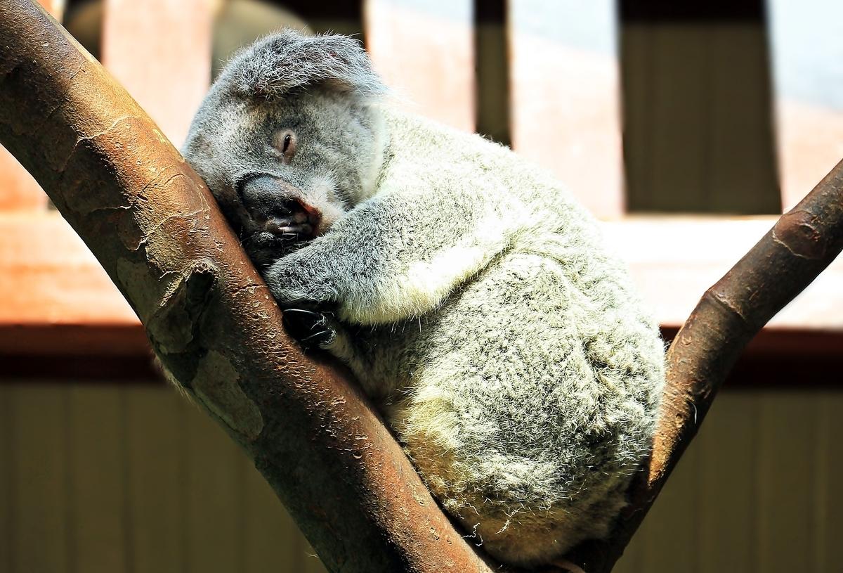 眠っているコアラ