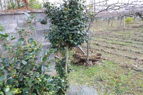 庭の木伐採前
