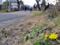 五料の山道 タンポポが咲いていました
