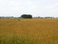 麦秋の浅間さま