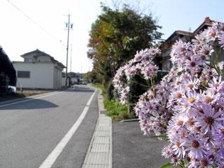 シオンが咲いている中山道(借宿付近)