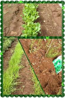 野菜栽培①