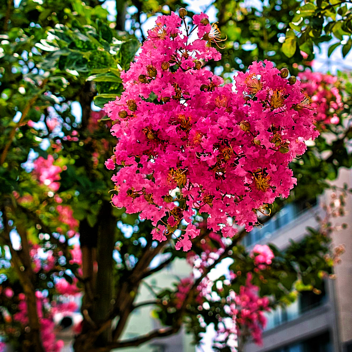ピンク色の百日紅の花の写真