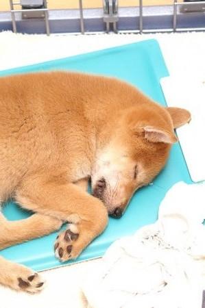 イヌの寝顔