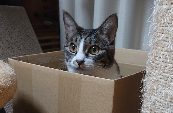 段ボールに隠れる猫