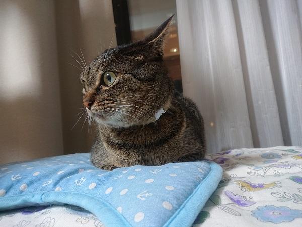 クールマットでくつろぐ猫