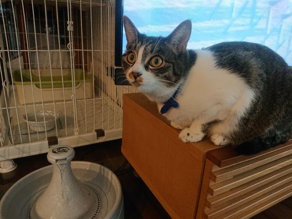 自動給水器を見つめる猫