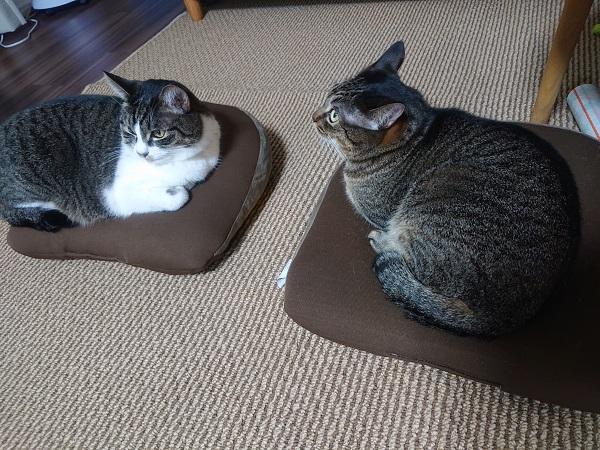 クッションと猫