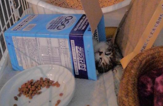 白目をむいて寝る子猫