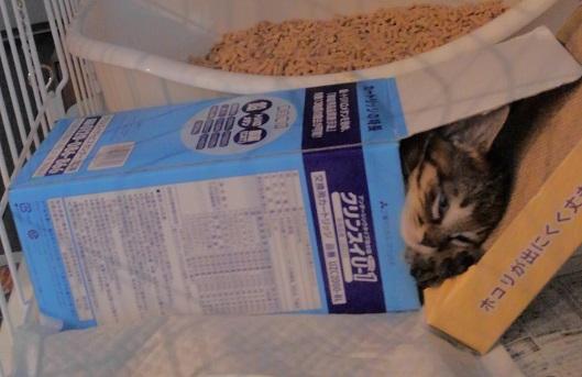箱の中で寝る子猫