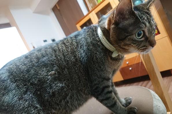 猫レクション 首輪