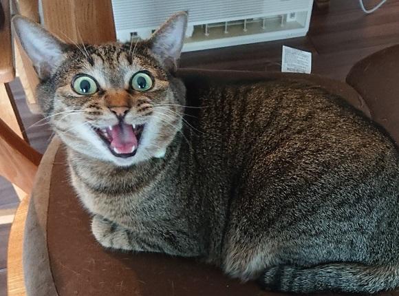 猫の要求鳴き