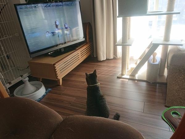 動画を観る猫