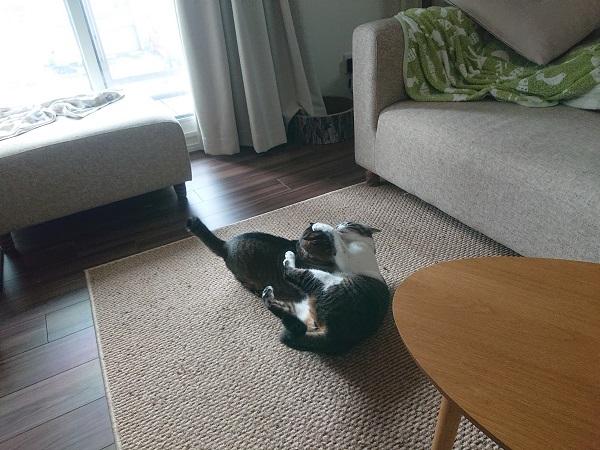 マジゲンカする猫