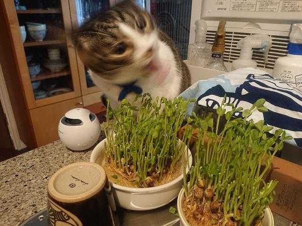 豆苗を食べる猫