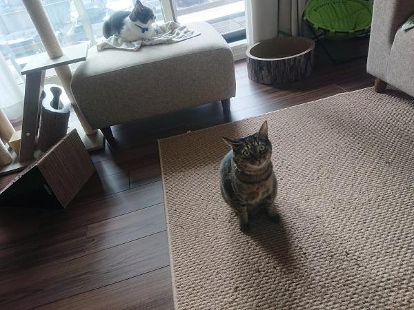 要求する猫