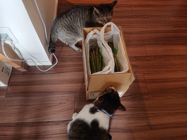 アスパラと猫