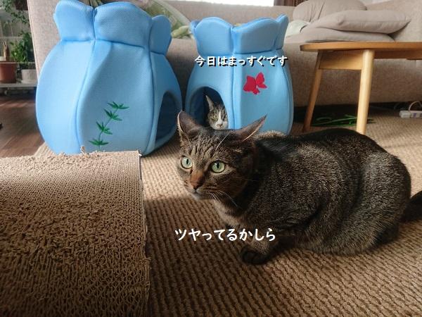 ファーミネーター猫