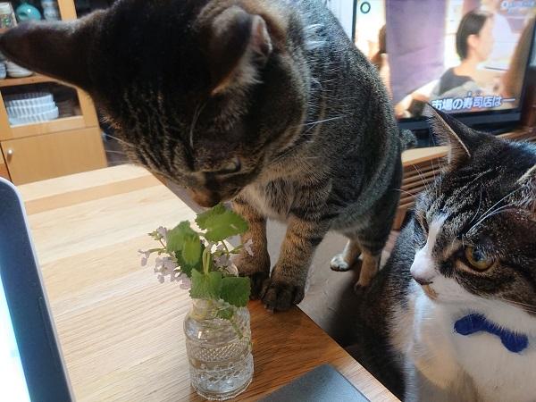 猫とキャットミント