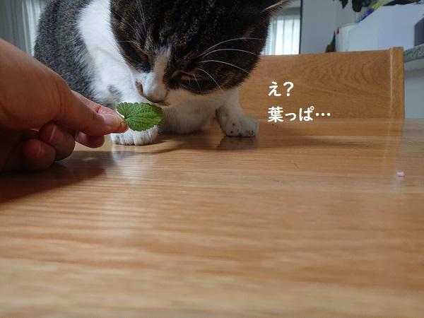 キャットミントと猫