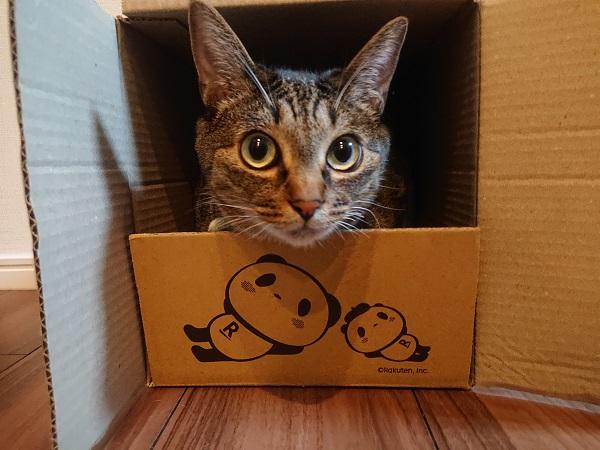 かじる 猫 段ボール