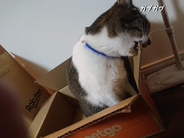 ダンボールをかじる猫