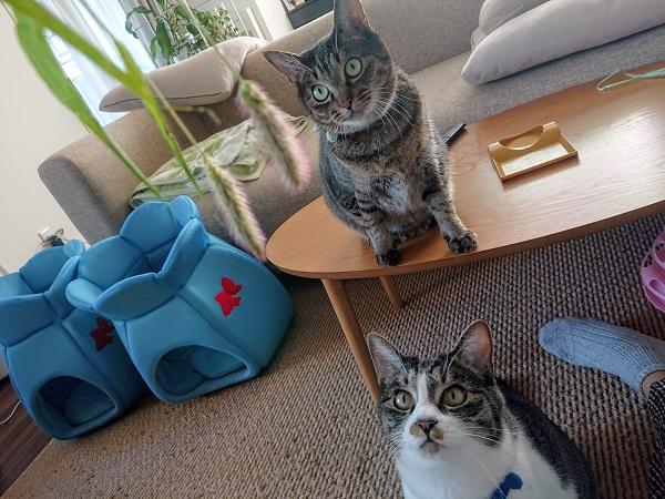 エノコログサと猫