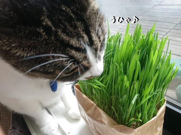 無印良品 猫草