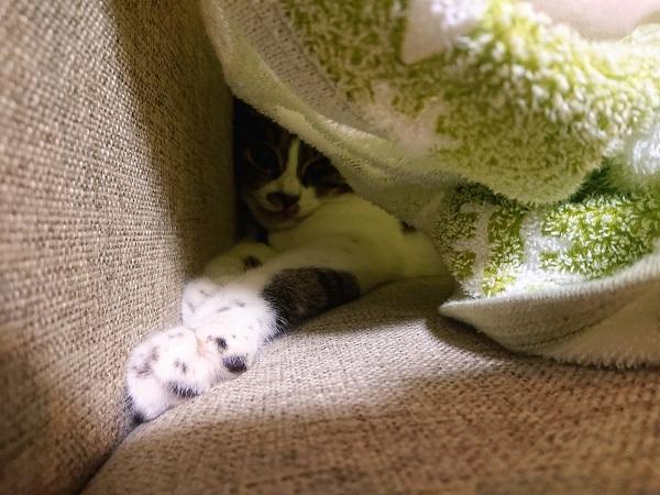 タオルケット 猫