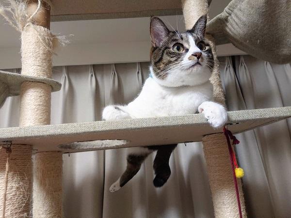 カギしっぽ 猫