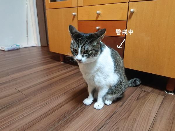 猫 イカ耳