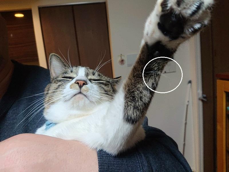 猫 宝毛 福毛
