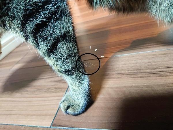 猫 手根触毛