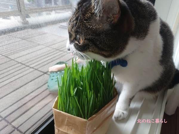 無印 猫草