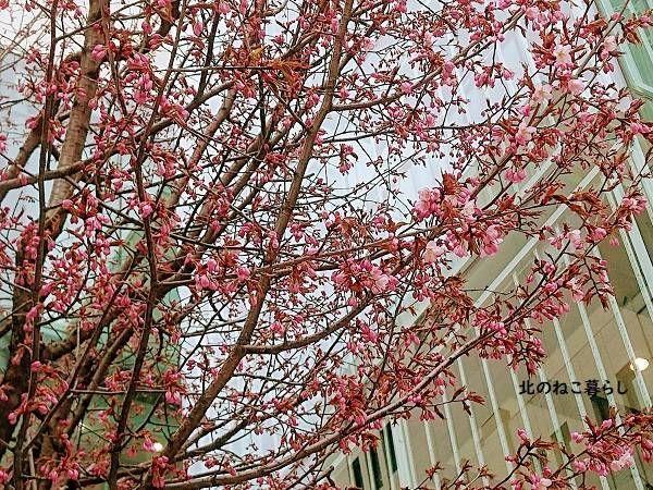 北海道 桜