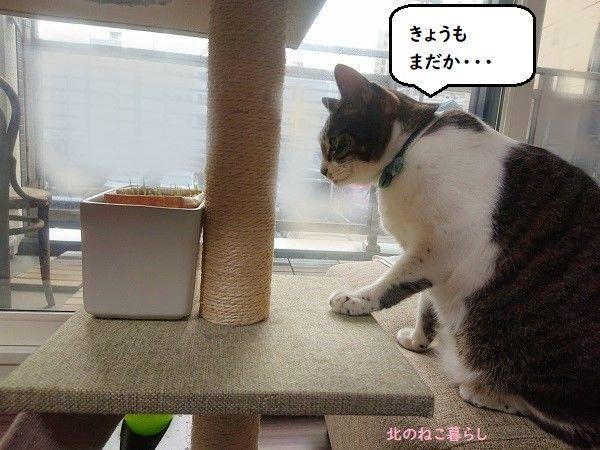 猫草 無印