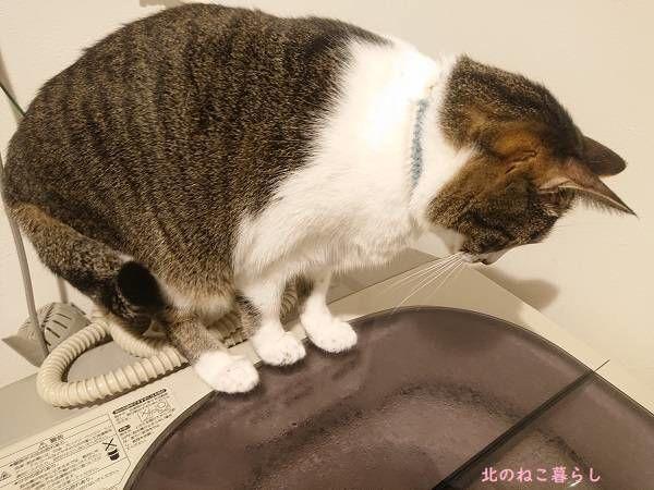 洗濯機 見る 猫