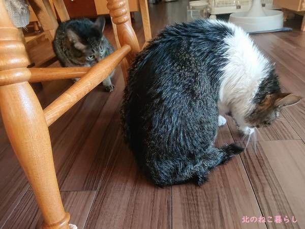 シャンプー 猫