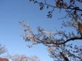 [花][桜]青空に、