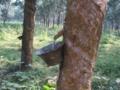 カイラクリ ゴムの樹液採取