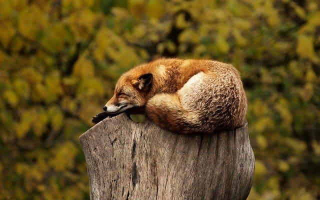 木の上で休憩している狐の画像