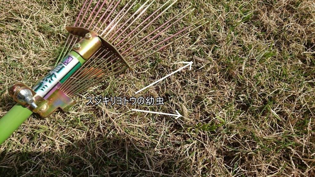 芝生 スジキリヨトウの幼虫