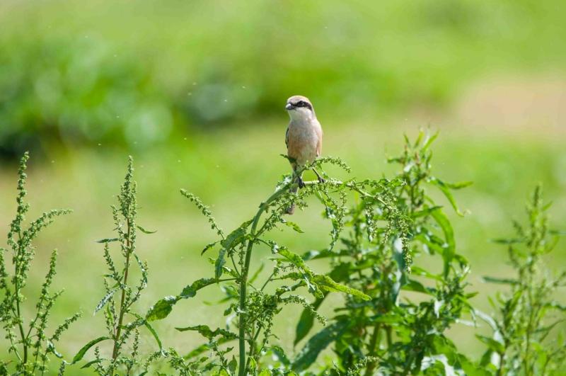 淀川河川敷で見た百舌鳥