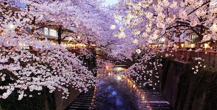 満開の桜の木(お花見)