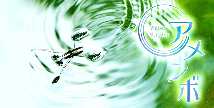 water strider、アメンボ、名前、由来、見た目、虫