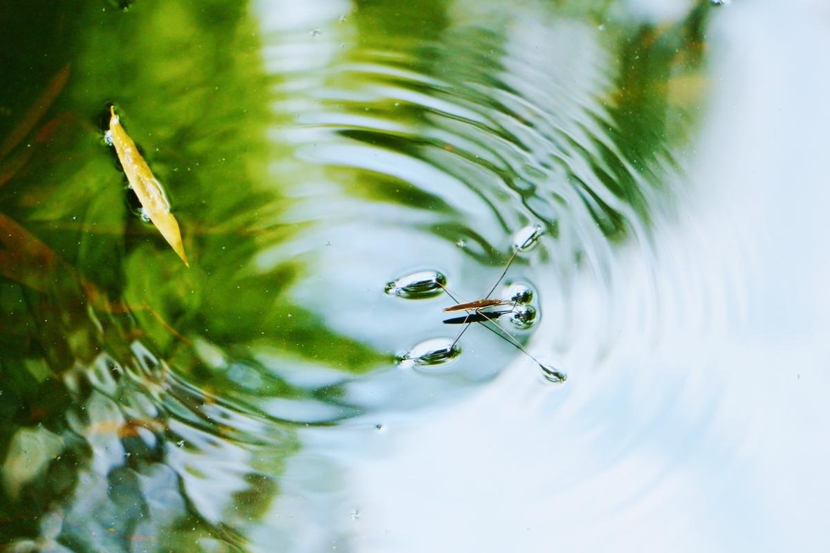 アメンボ、水辺、池